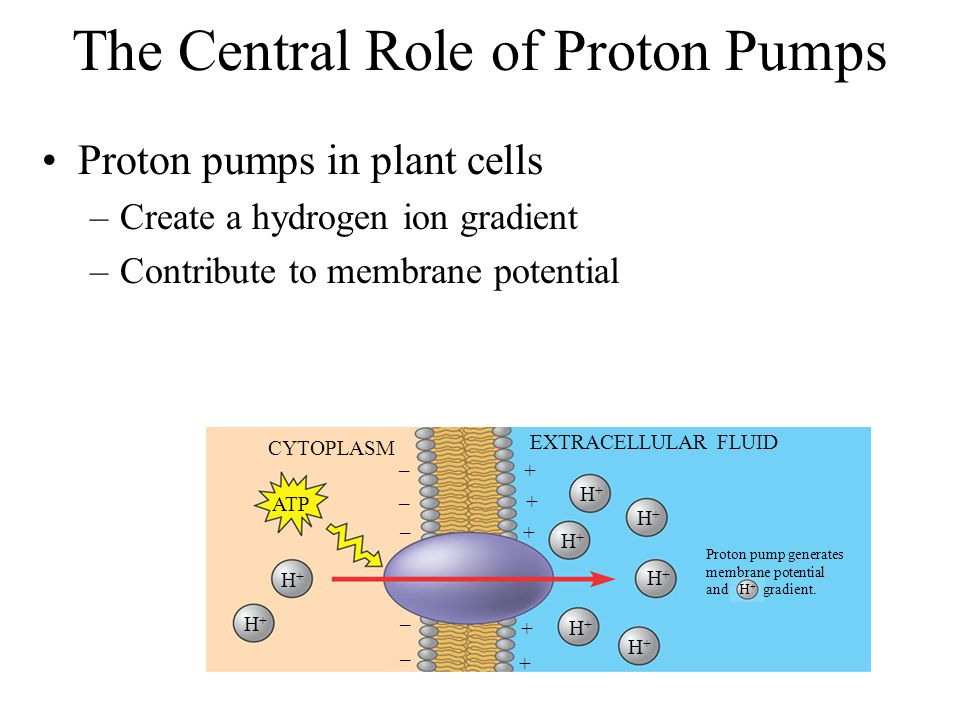The Central Role of Proton Pumps Proton pumps in plant cells –Create a hydrogen ion gradient –Contribute to membrane potential CYTOPLASM EXTRACELLULAR