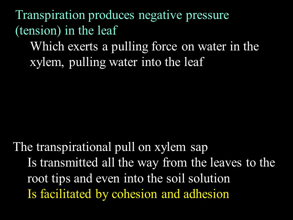 Transpiration produces negative pressure (tension) in the leaf Which exerts a pulling force on water in the xylem, pulling water into the leaf The transpirational pull on xylem sap Is transmitted all the way from the leaves to the root tips and even into the soil solution Is facilitated by cohesion and adhesion