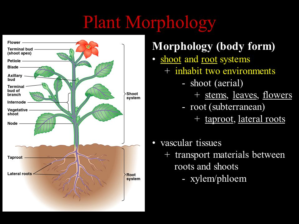 Plant Morphology Morphology (body form) shoot and root systems + inhabit two environments - shoot (aerial) + stems, leaves, flowers - root (subterrane