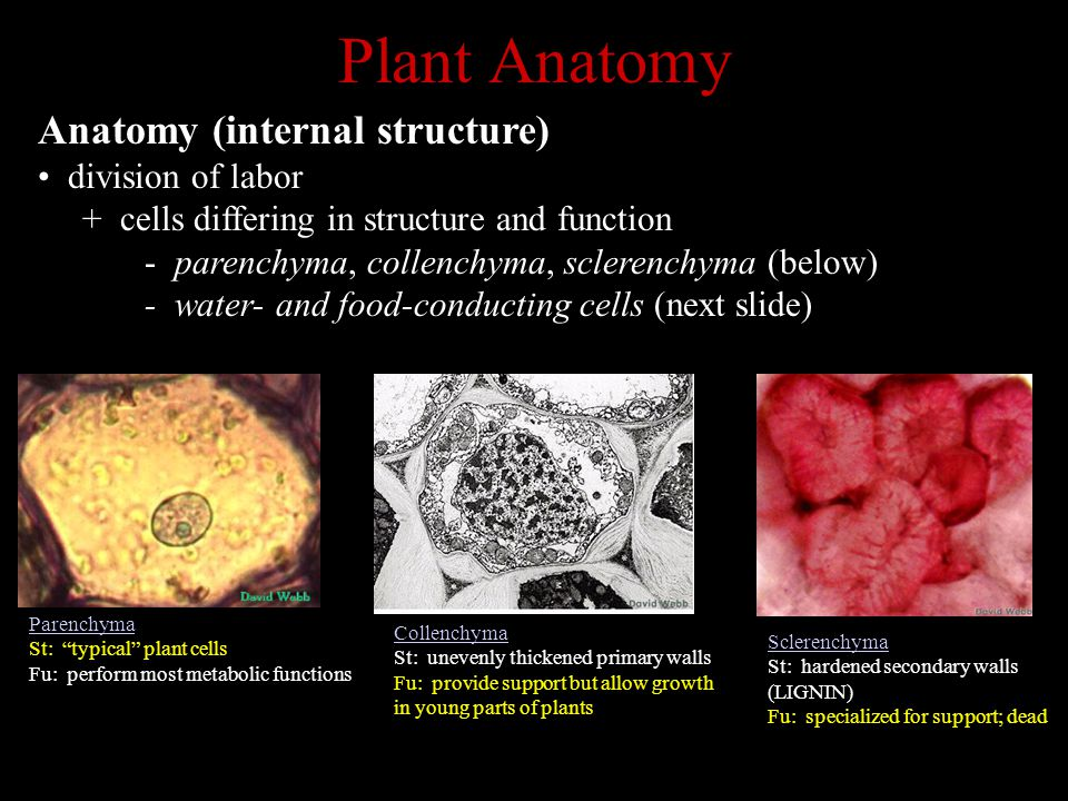 Plant Anatomy Anatomy (internal structure) division of labor + cells differing in structure and function - parenchyma, collenchyma, sclerenchyma (below) - water- and food-conducting cells (next slide) Parenchyma St: typical plant cells Fu: perform most metabolic functions Collenchyma St: unevenly thickened primary walls Fu: provide support but allow growth in young parts of plants Sclerenchyma St: hardened secondary walls (LIGNIN) Fu: specialized for support; dead