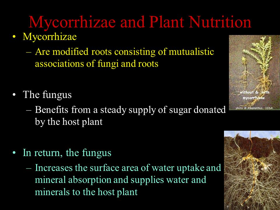 Mycorrhizae and Plant Nutrition Mycorrhizae –Are modified roots consisting of mutualistic associations of fungi and roots The fungus –Benefits from a