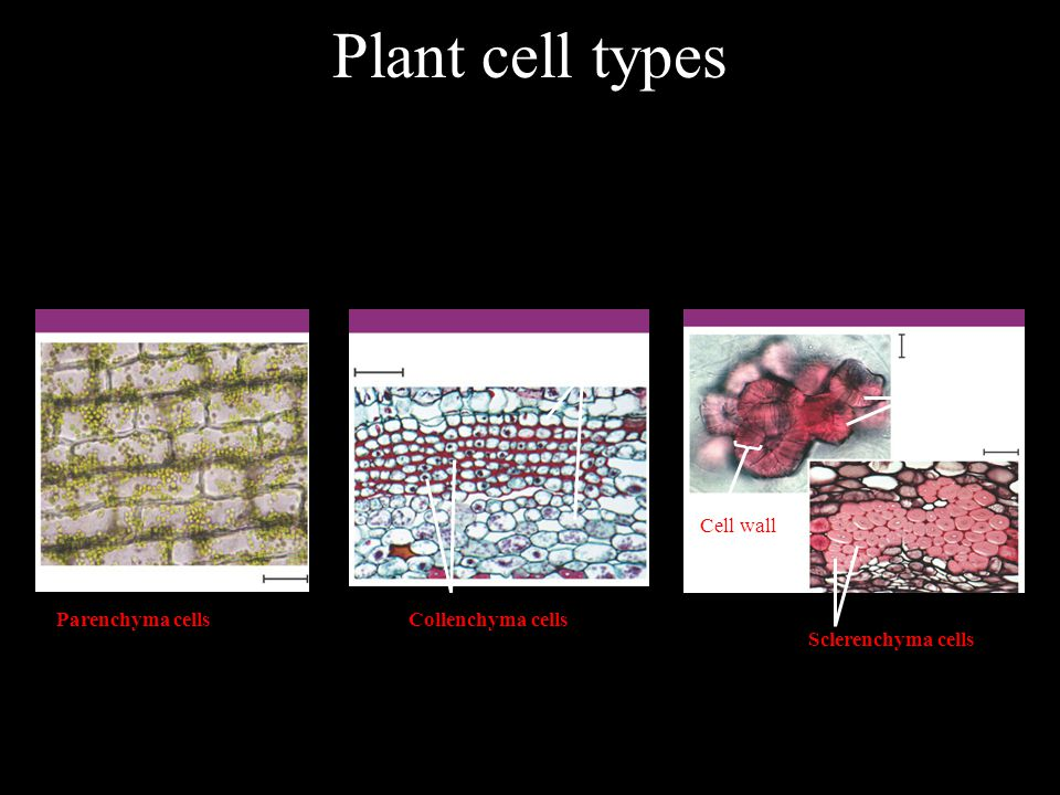 Plant cell types Parenchyma cellsCollenchyma cells Cell wall Sclerenchyma cells