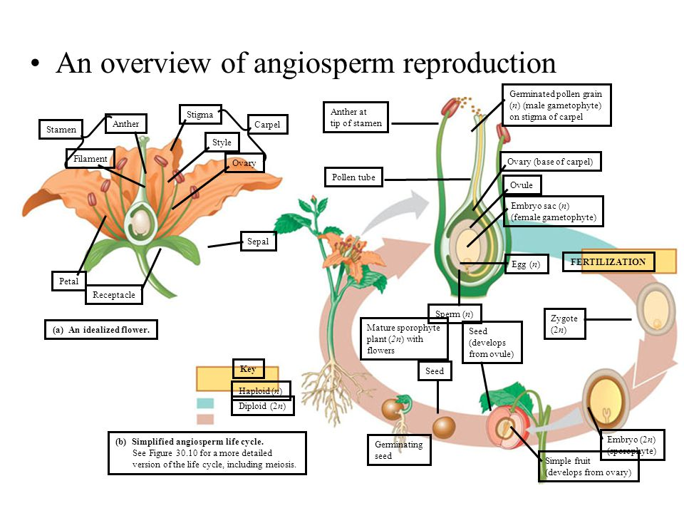 An overview of angiosperm reproduction Anther at tip of stamen Filament Anther Stamen Pollen tube Germinated pollen grain (n) (male gametophyte) on st
