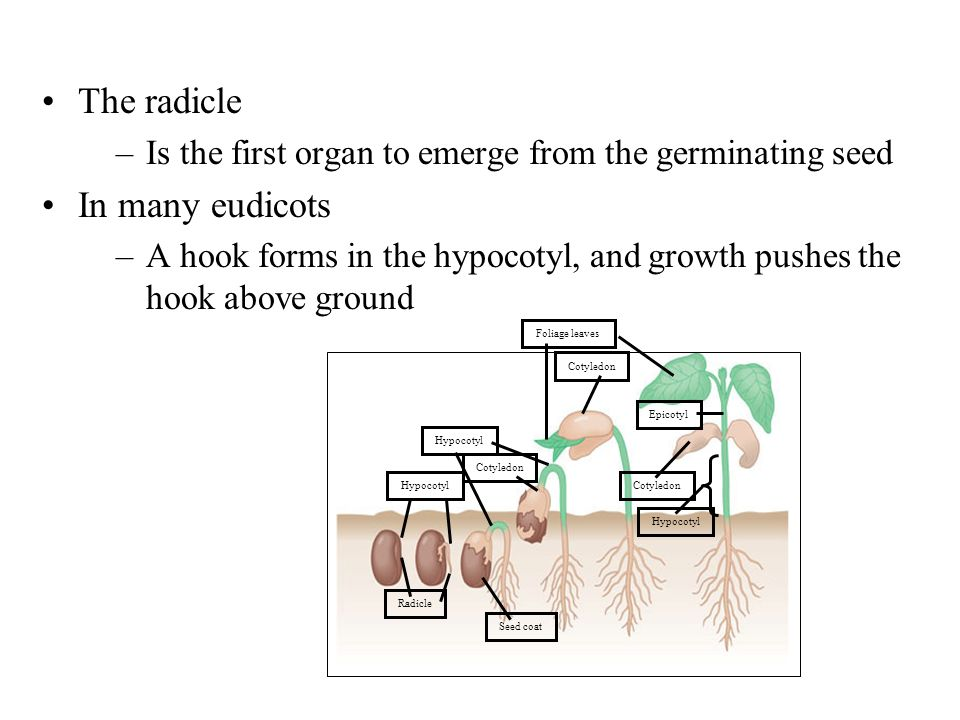 Foliage leaves Cotyledon Hypocotyl Radicle Epicotyl Seed coat Cotyledon Hypocotyl Cotyledon Hypocotyl The radicle –Is the first organ to emerge from t