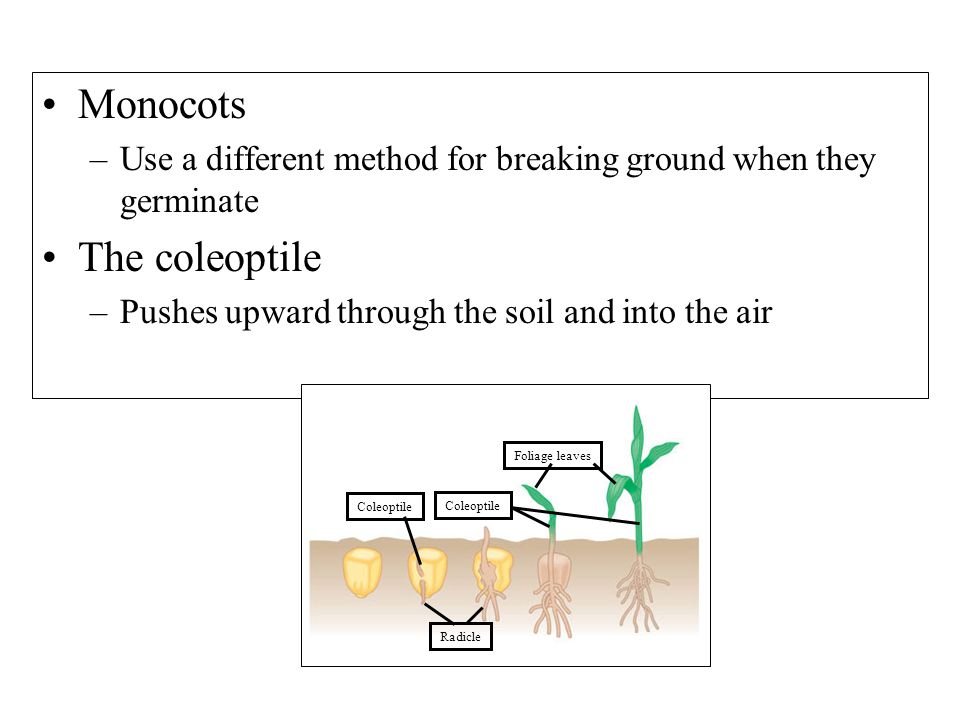 Monocots –Use a different method for breaking ground when they germinate The coleoptile –Pushes upward through the soil and into the air Foliage leaves Coleoptile Radicle