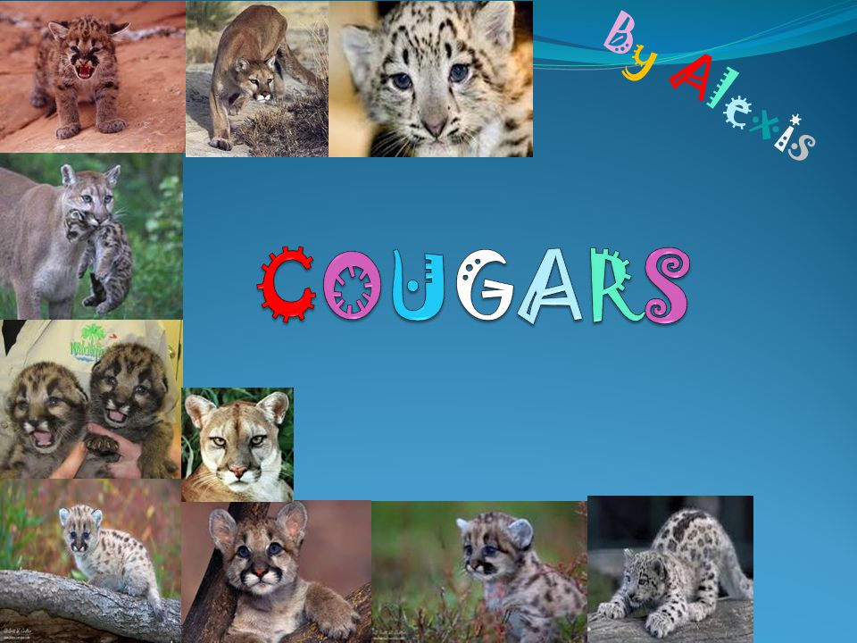 Habitat.The cougar has many habitats. One of them is the deciduous rain forest.
