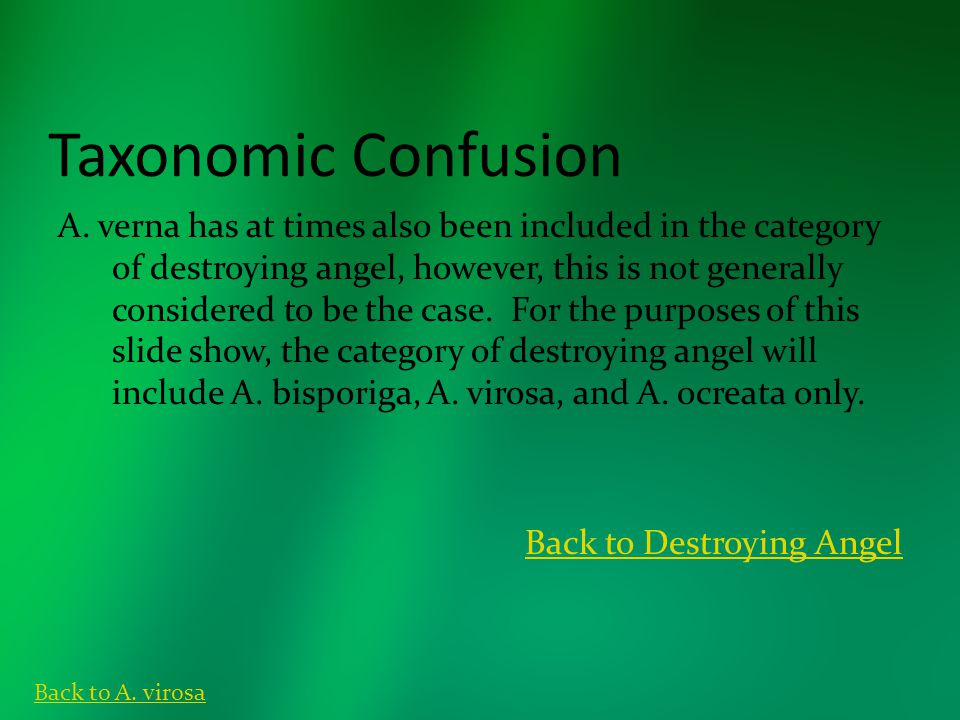 Taxonomic Confusion A. verna has at times also been included in the category of destroying angel, however, this is not generally considered to be the