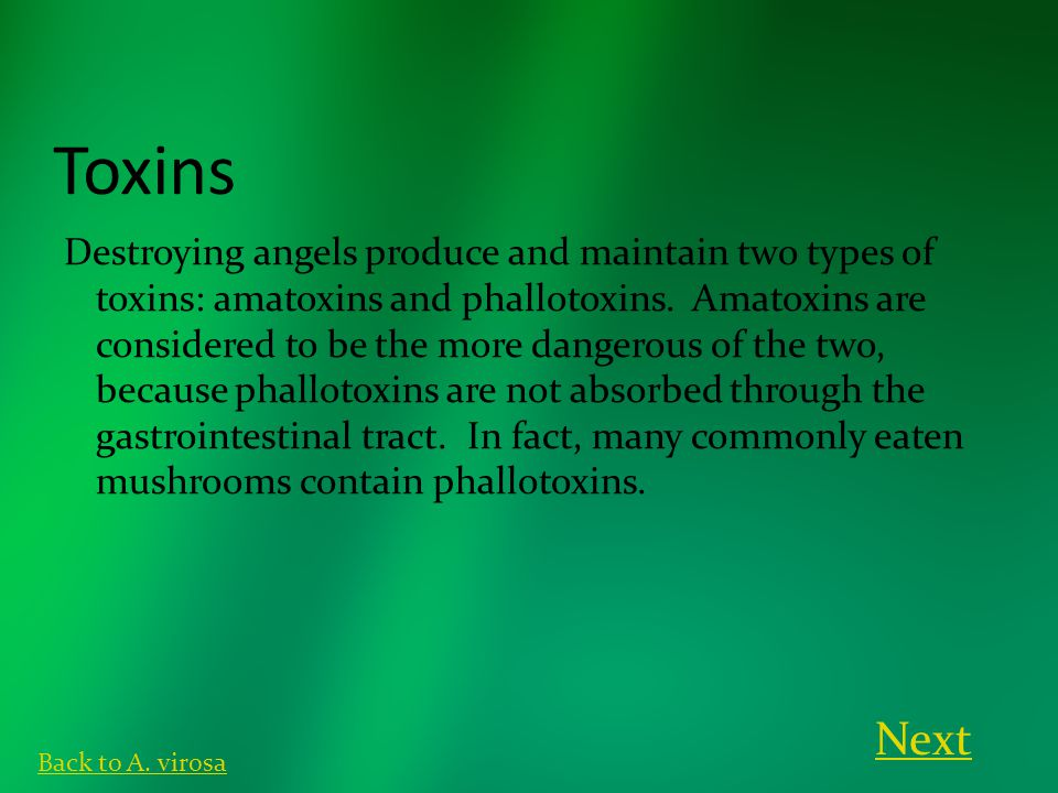 Toxins Destroying angels produce and maintain two types of toxins: amatoxins and phallotoxins. Amatoxins are considered to be the more dangerous of th