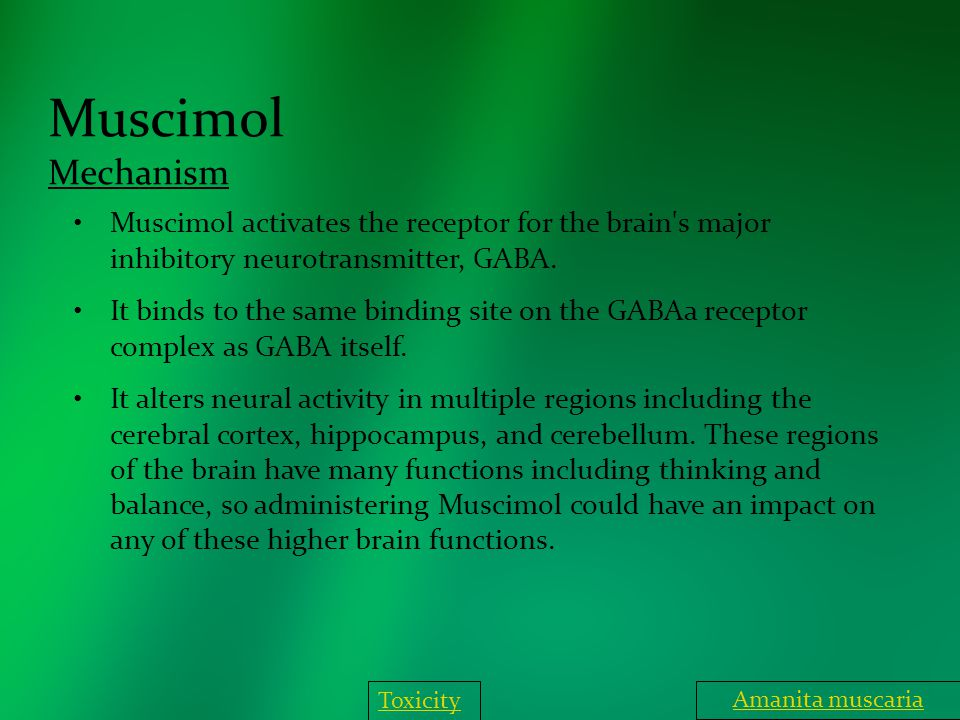 Muscimol Mechanism Muscimol activates the receptor for the brain's major inhibitory neurotransmitter, GABA. It binds to the same binding site on the G