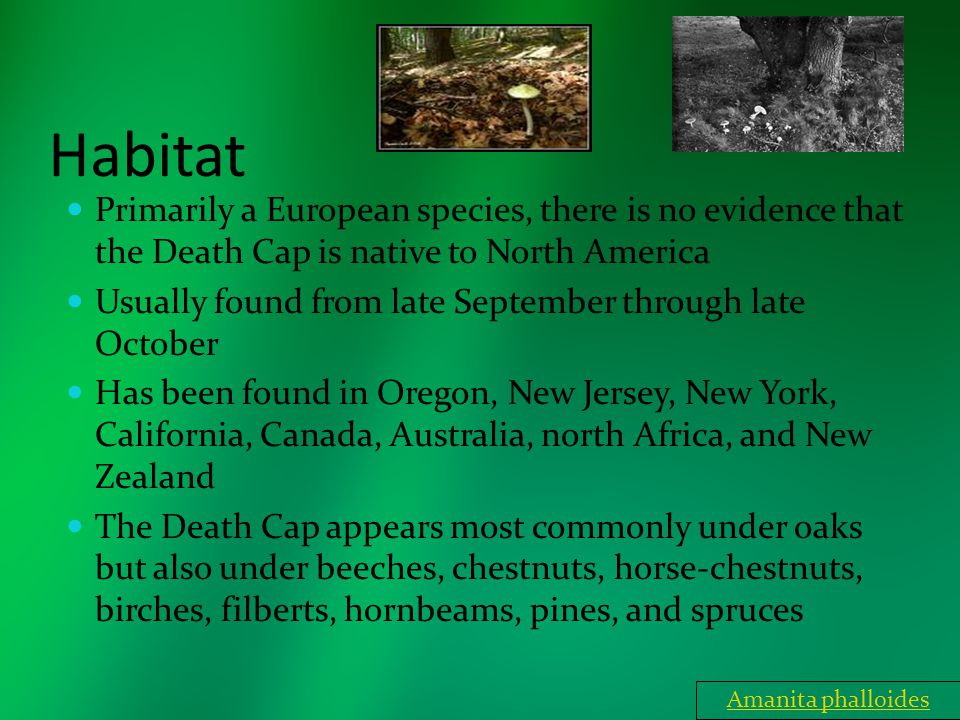 Habitat Primarily a European species, there is no evidence that the Death Cap is native to North America Usually found from late September through lat