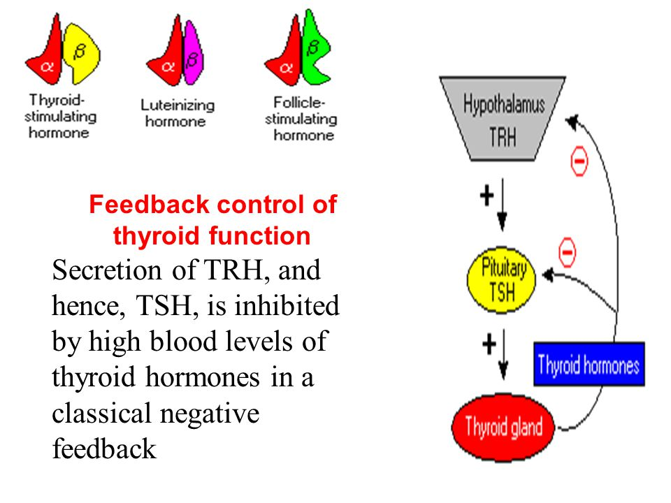 Feedback control of thyroid function Secretion of TRH, and hence, TSH, is inhibited by high blood levels of thyroid hormones in a classical negative f
