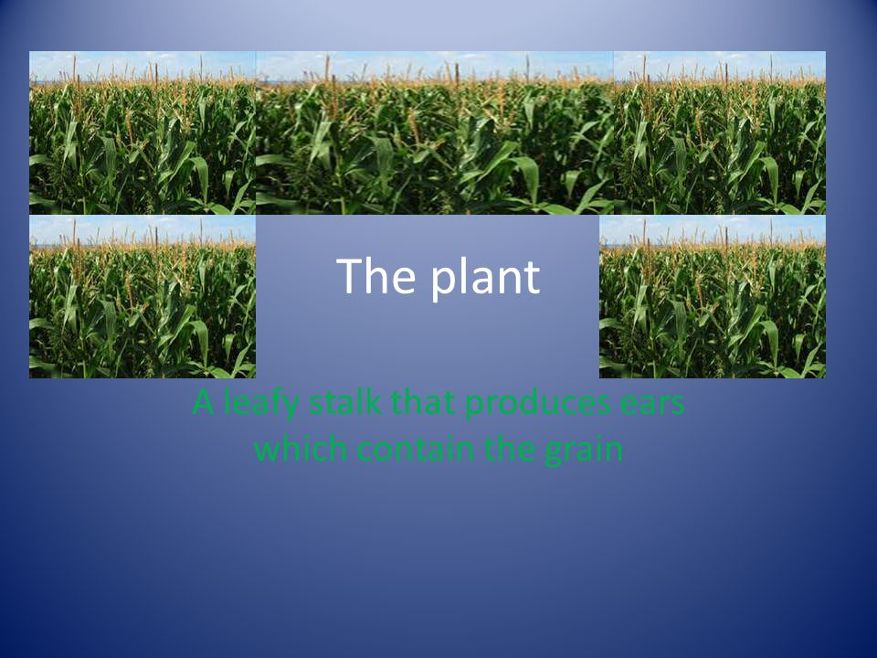The plant A leafy stalk that produces ears which contain the grain