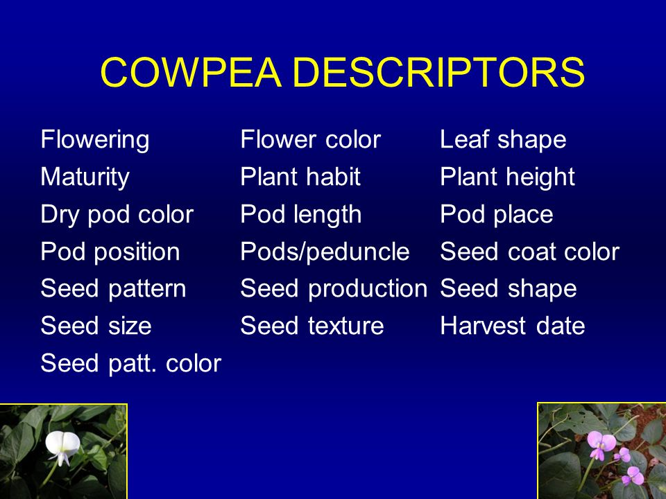 COWPEA DESCRIPTORS FloweringFlower colorLeaf shape MaturityPlant habitPlant height Dry pod colorPod lengthPod place Pod positionPods/peduncleSeed coat color Seed patternSeed productionSeed shape Seed sizeSeed textureHarvest date Seed patt.