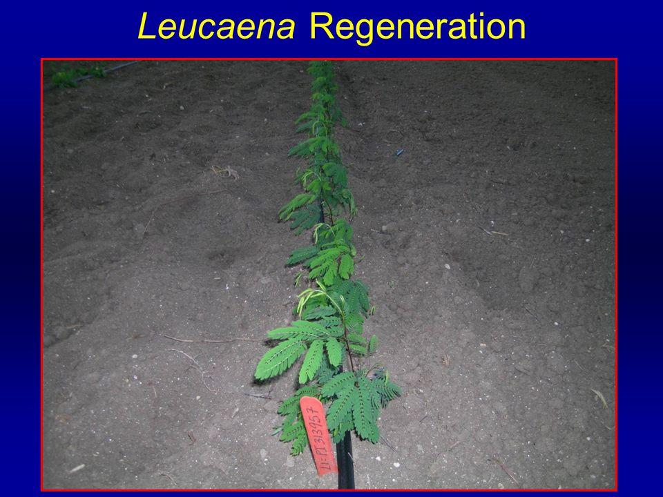 Leucaena Regeneration