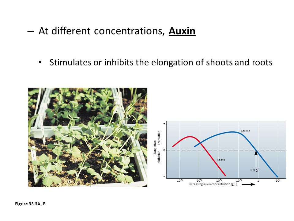 – At different concentrations, Auxin Stimulates or inhibits the elongation of shoots and roots Figure 33.3A, B Roots Stems 0 0.9 g/L   10 – 8 10 – 6
