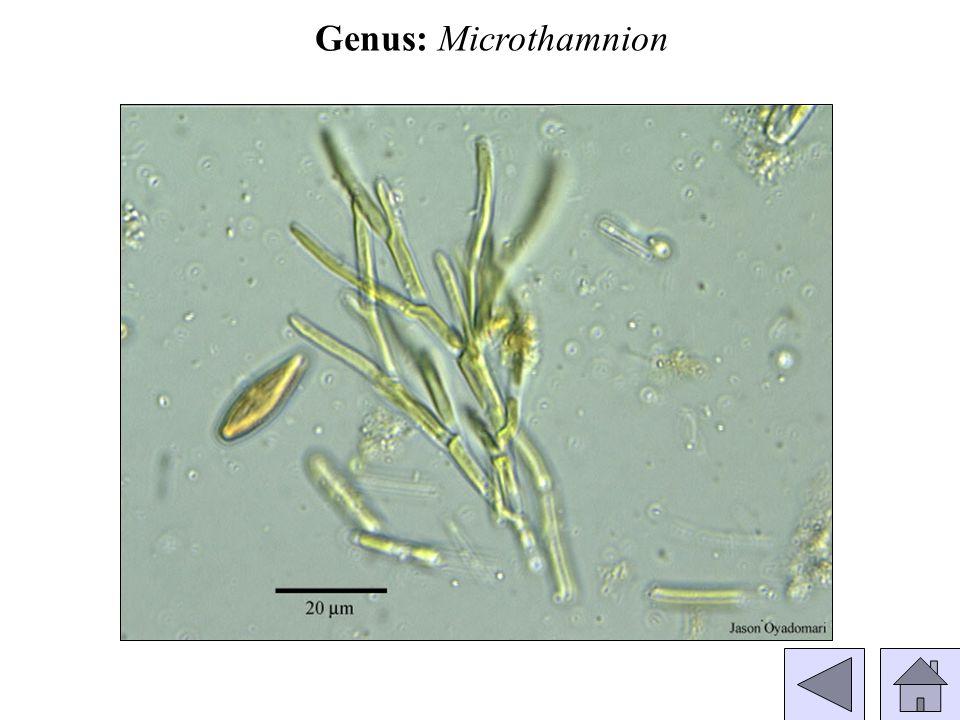 Genus: Microthamnion