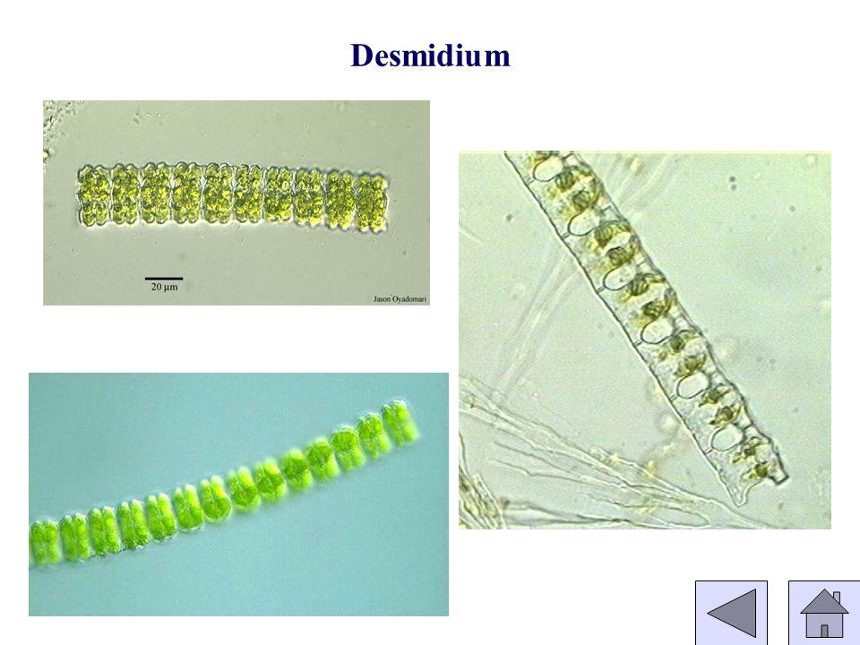 Desmidium