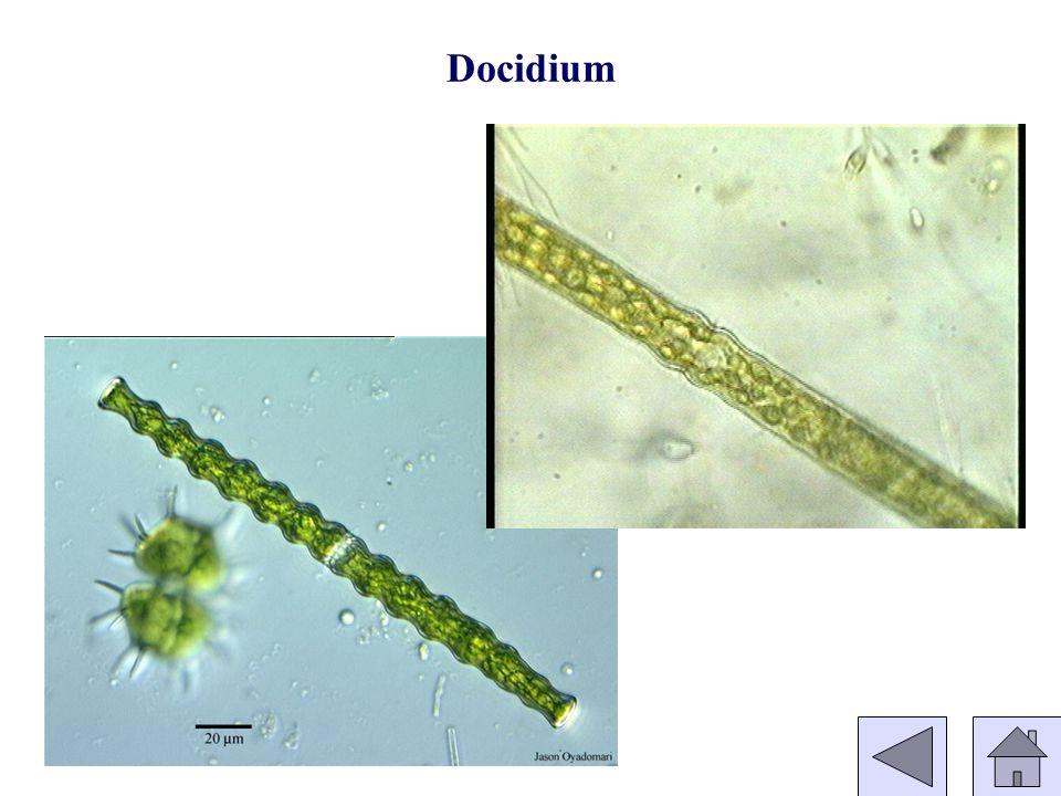 Docidium