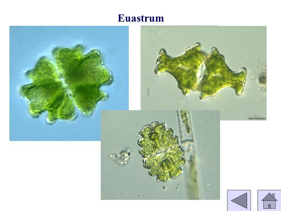 Euastrum