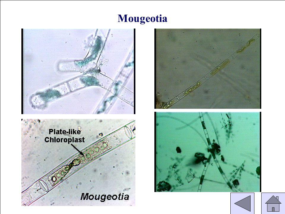 (Conjugating) Mougeotia