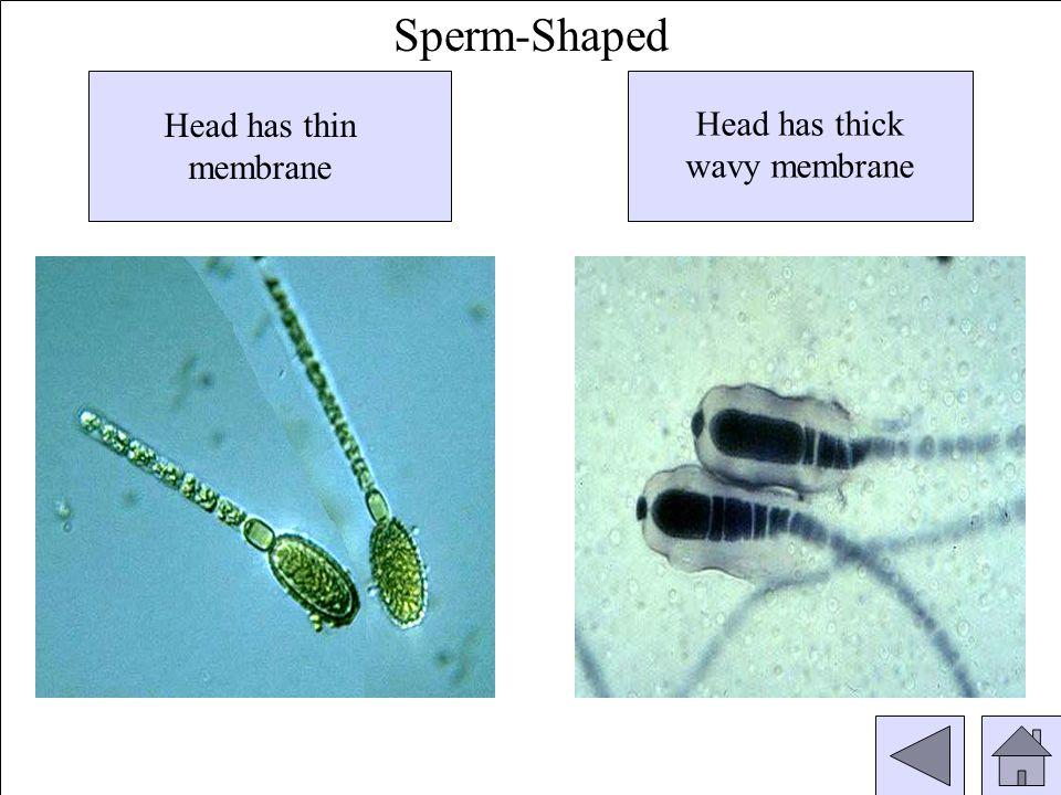 Head has thin membrane Head has thick wavy membrane Sperm-Shaped
