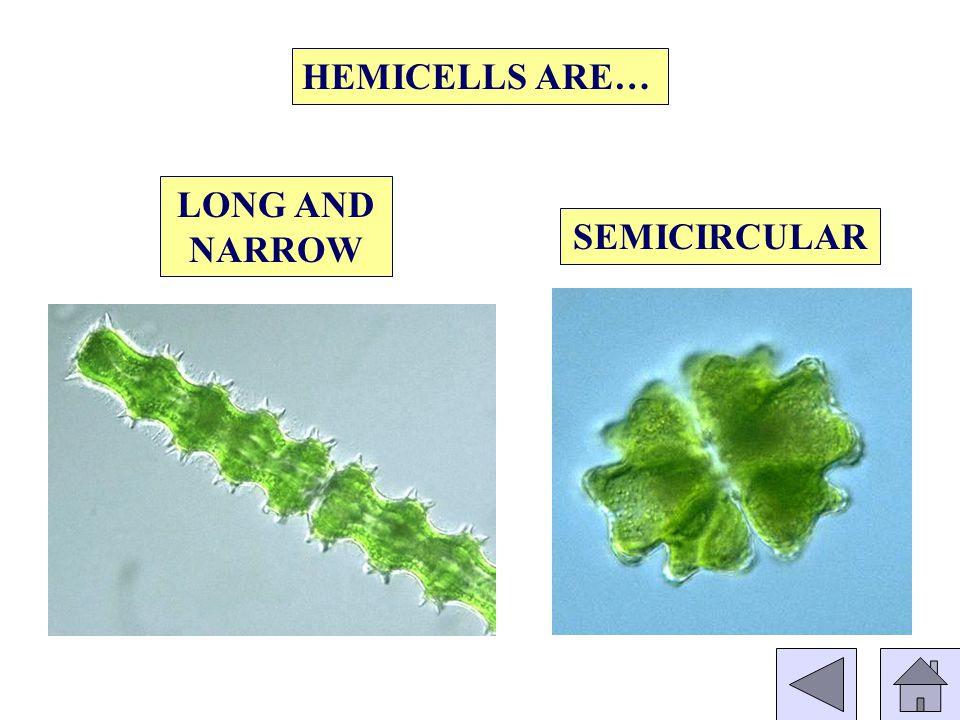 HEMICELLS ARE… LONG AND NARROW SEMICIRCULAR