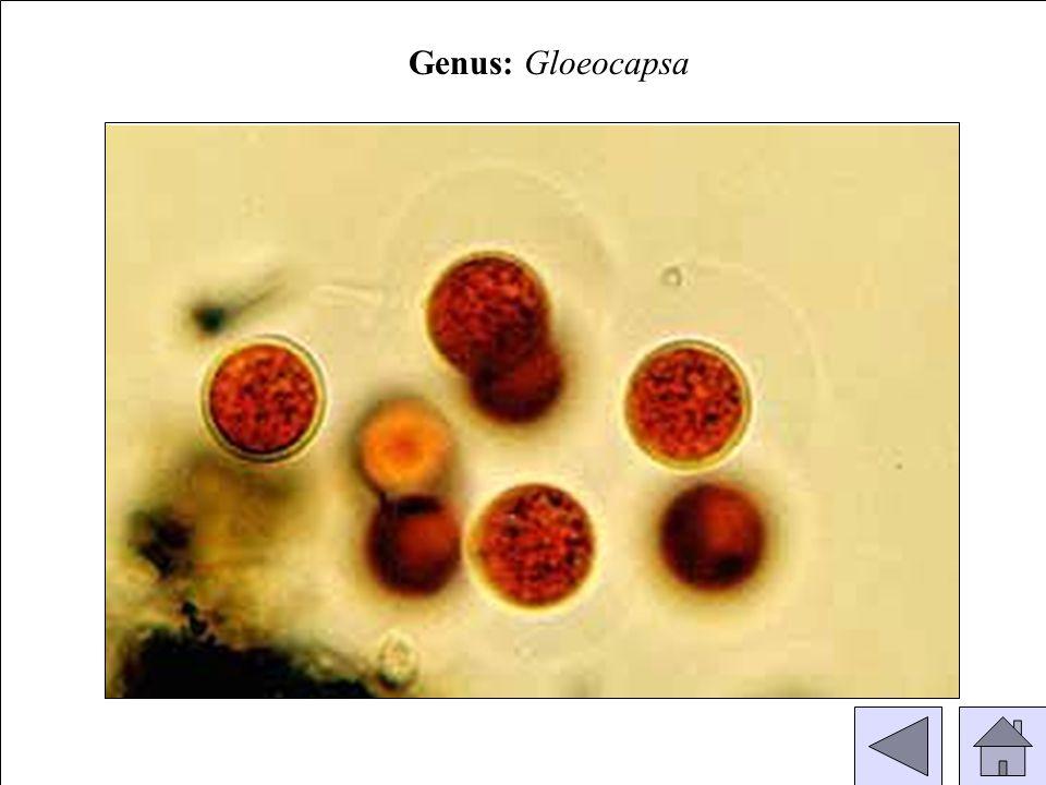 Genus: Gloeocapsa