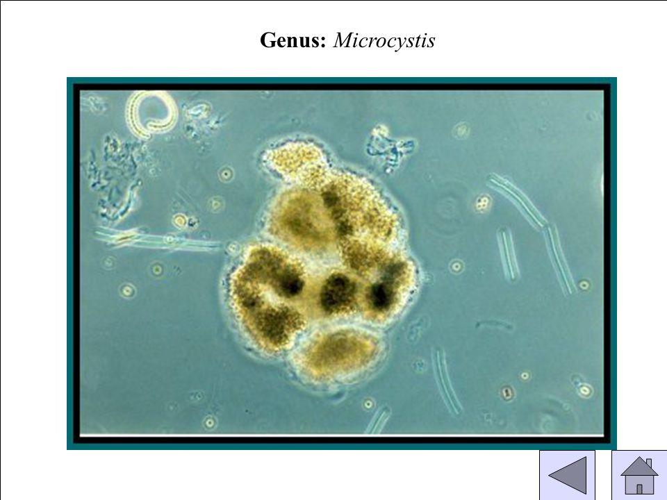 Genus: Microcystis