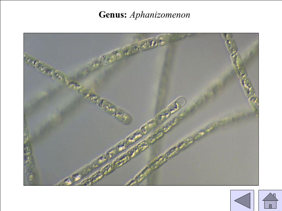 Genus: Aphanizomenon