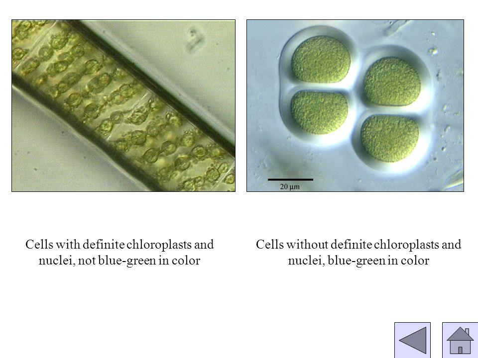 Genus: Achnanthes