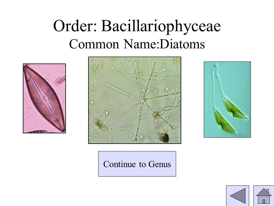 Order: Bacillariophyceae Common Name:Diatoms Continue to Genus