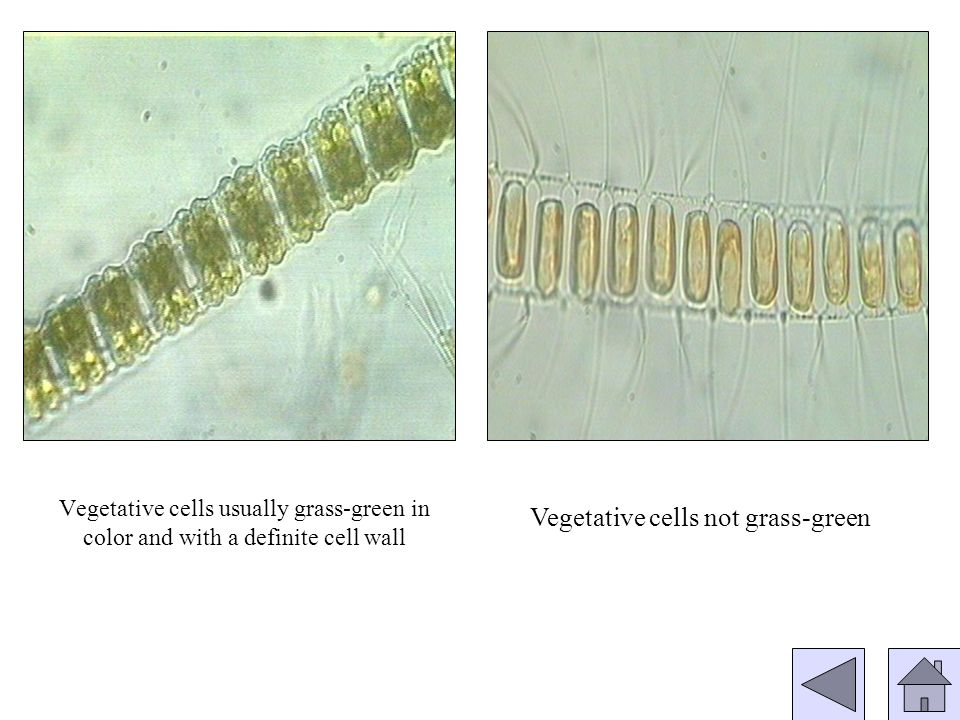 Vegetative cells yellowish to brown with a glass-like silica wall of two overlapping halves Vegetative cells yellow-green with a cell wall