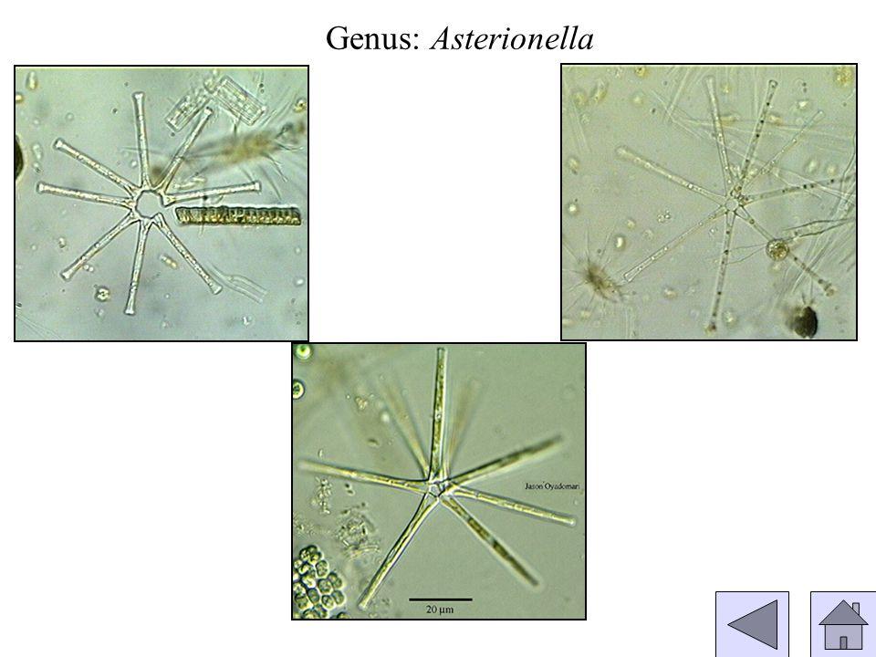 Genus: Asterionella