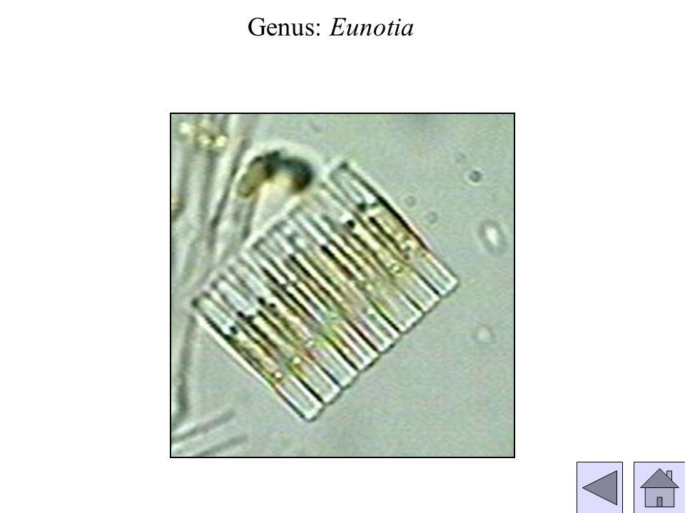 Genus: Eunotia