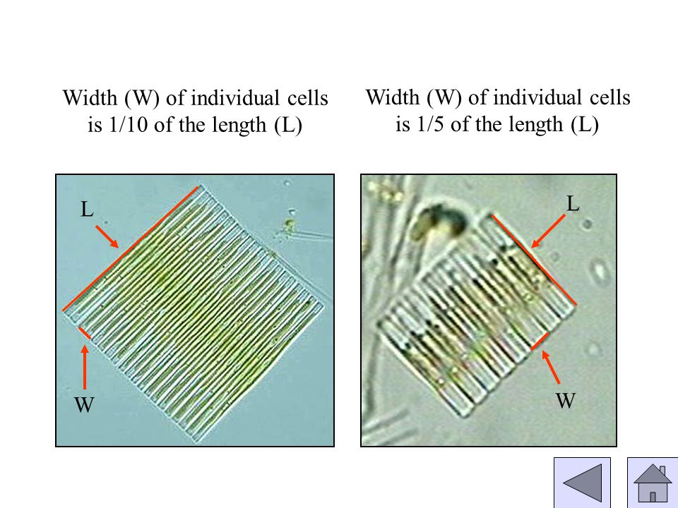 Width (W) of individual cells is 1/10 of the length (L) W L W L Width (W) of individual cells is 1/5 of the length (L)