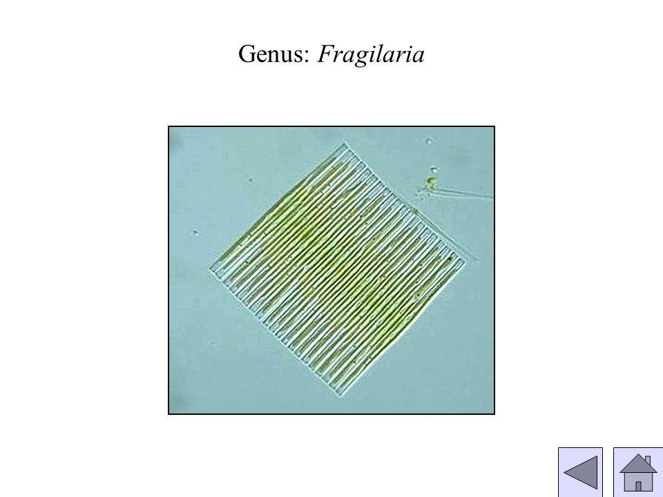 Genus: Fragilaria