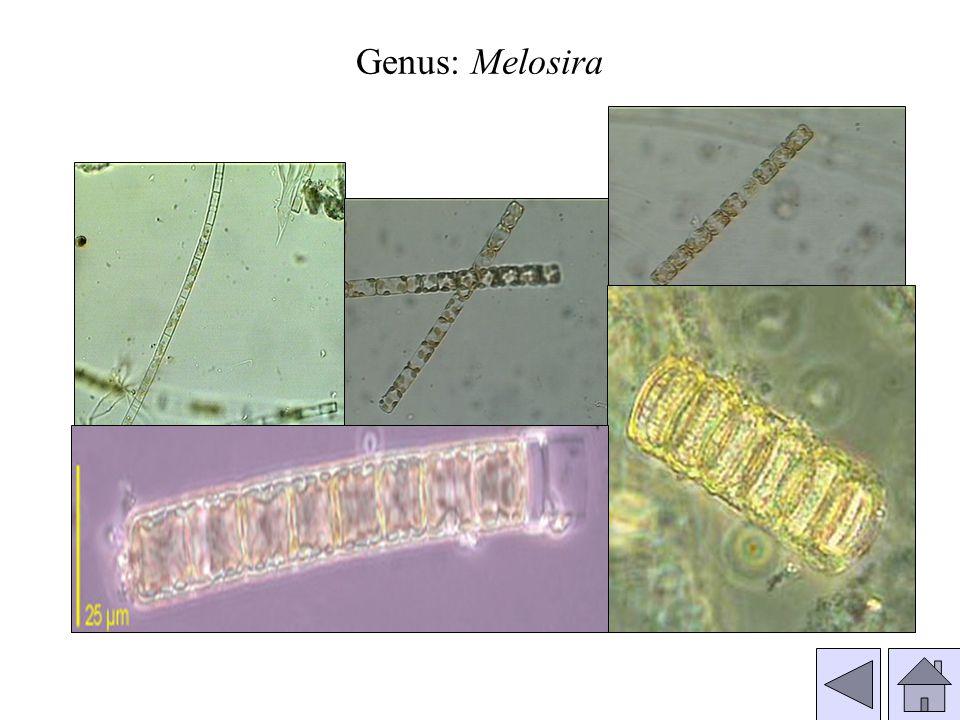 Genus: Melosira