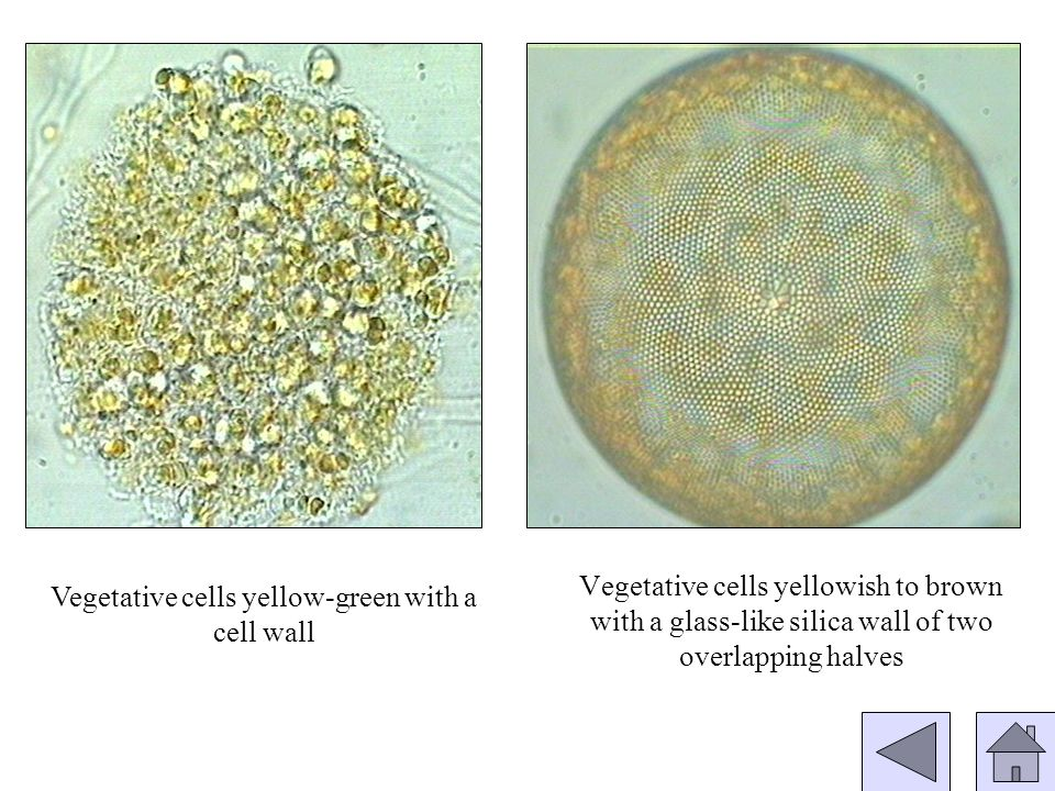 COLONIES (GROUPS OF CELLS) FILAMENTS (LINEARLY) CELLS ARE ARRANGED IN… SINGLE CELLS Class: Chlorophycae