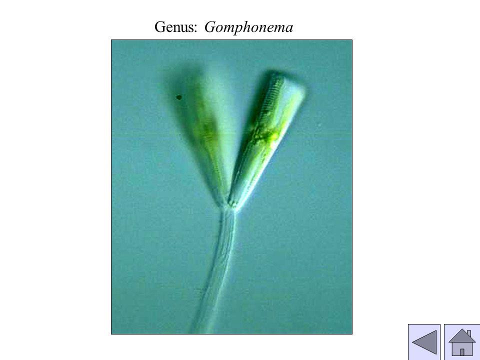 Genus: Gomphonema