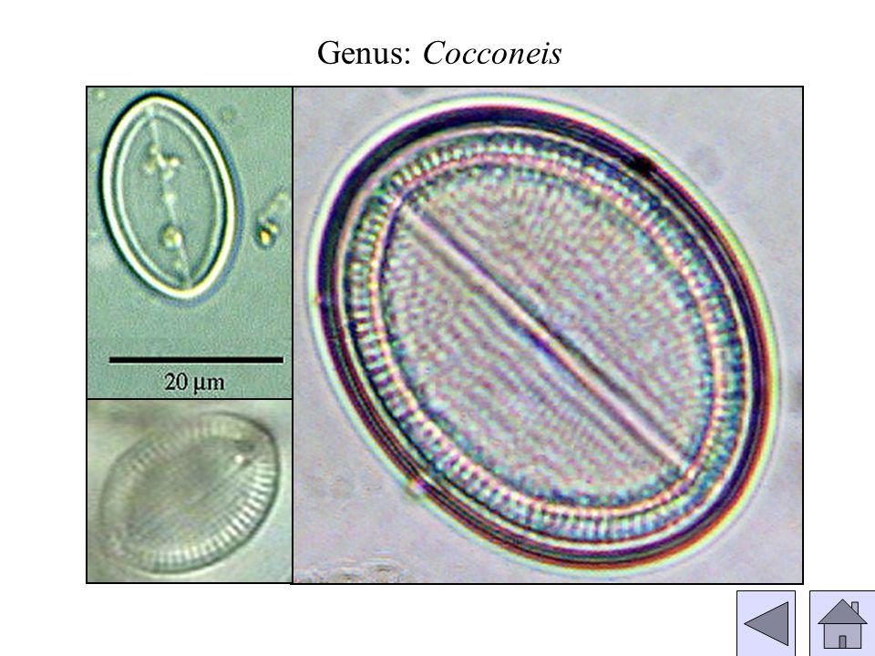 Genus: Cocconeis