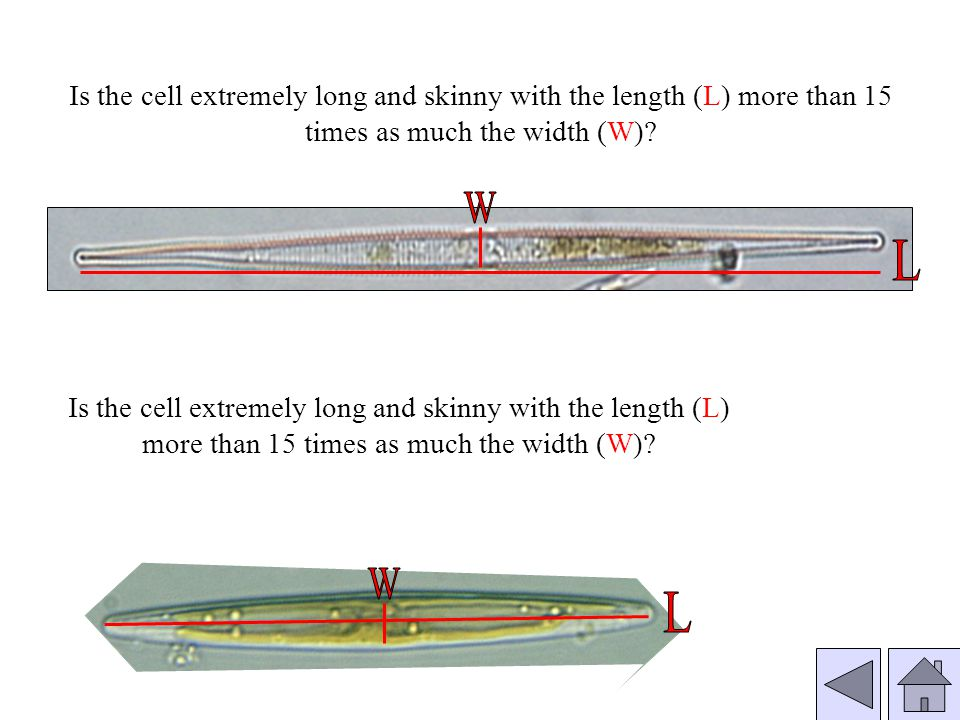 Is the cell extremely long and skinny with the length (L) more than 15 times as much the width (W)
