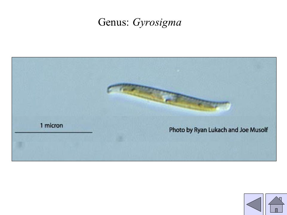 Genus: Gyrosigma