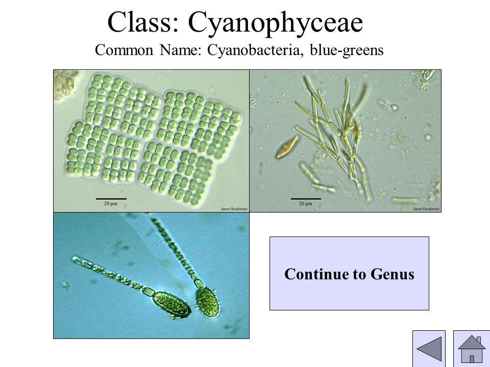 Genus: Pinnularia