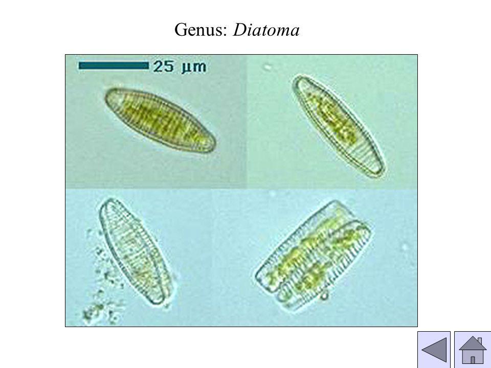 Genus: Diatoma