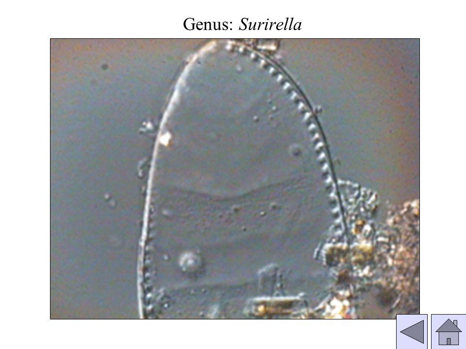 Genus: Surirella