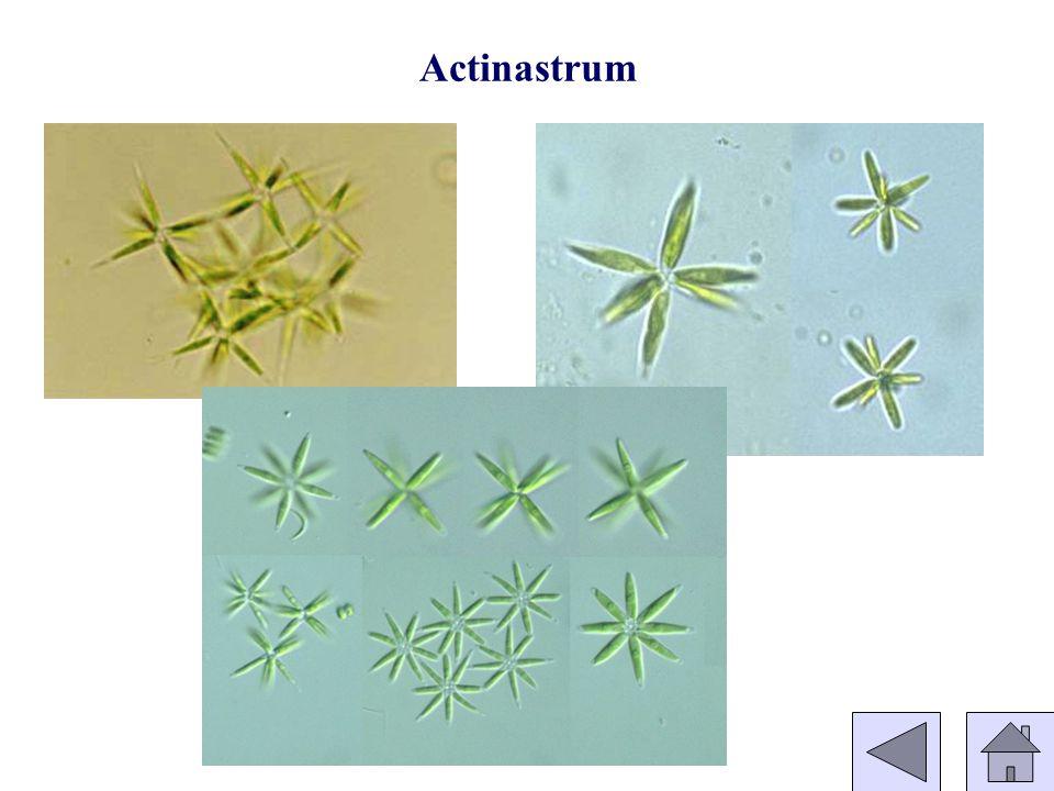 Actinastrum