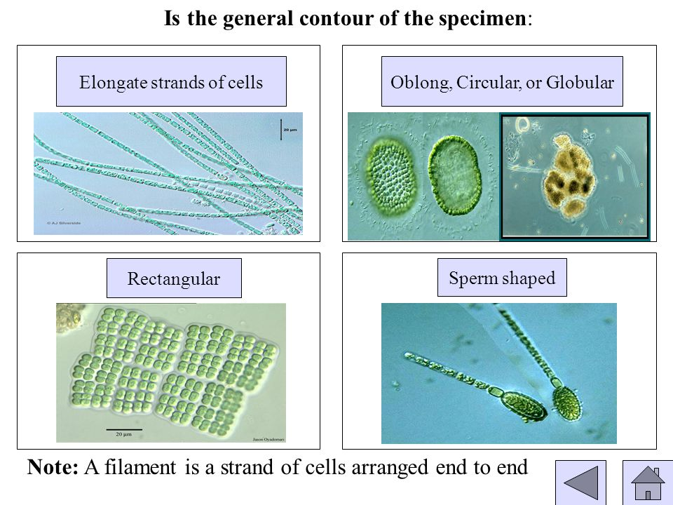 Rectangular Is the general contour of the specimen: Elongate strands of cellsOblong, Circular, or Globular Sperm shaped Note: A filament is a strand of cells arranged end to end