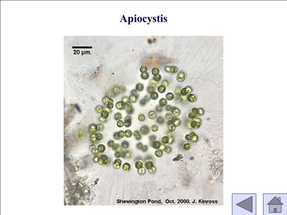 Apiocystis