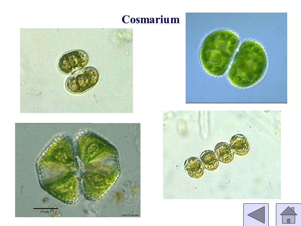 Cosmarium