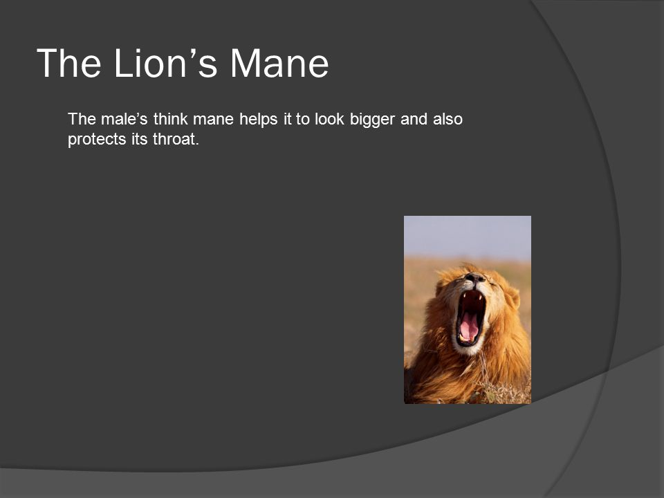 The Lion's Mane The male's think mane helps it to look bigger and also protects its throat.